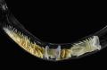O Verme marinho Chaetopterus variopedatus. | Foto:  Anderson Garbuglio de Oliveira