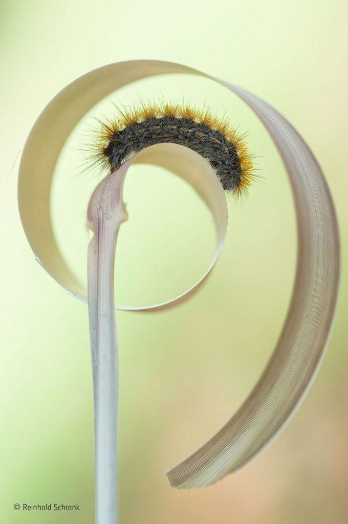"""Caterpillar curl"", Reinhold Schrank, Áustria"