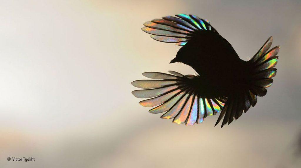 """""""Rainbow wings"""", Victor Tyakht, Rússia"""