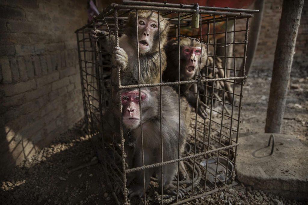 Macacos presos em uma gaiola na China. | Foto: Kevin Frayer/Getty Images