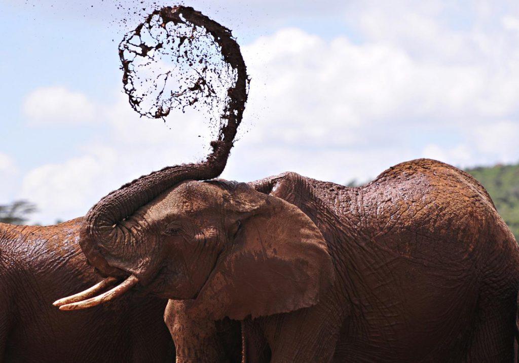 Um elefante africano tomando banho de lama | Foto: SIMON MAINA/AFP/Getty Images